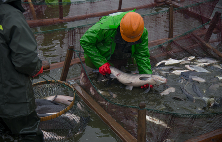Many big fish were caught on the fishing grounds by workers. Banco de Imagens - 111011666