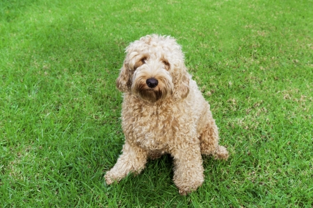 poodle mix: Golden labradoodle sitting in lush grass  Stock Photo