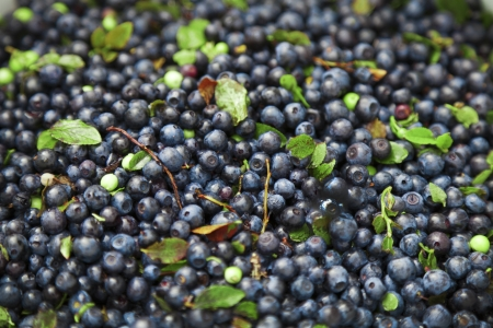 Harvested wild blueberry from alpine forest Stock Photo - 16834511
