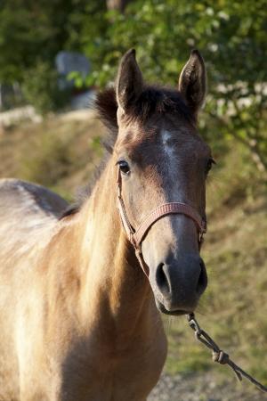 Arabian horse sanguine