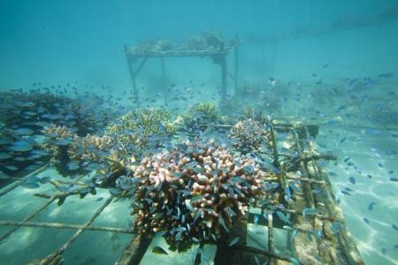 Coral regenaration on tables
