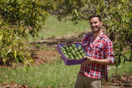 aguacate: Agricultor joven con el rectángulo recién recogido de aguacates