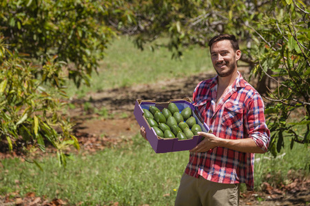 Young farmer with freshly picked box of avocados