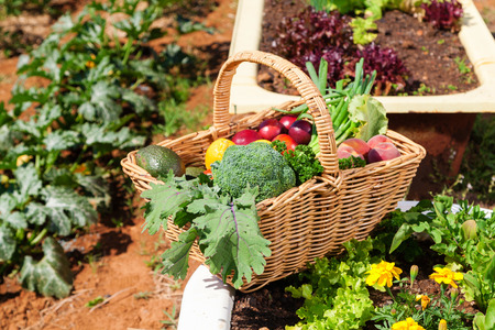 Basket of fresh organic fruit and vegetables in garden photo