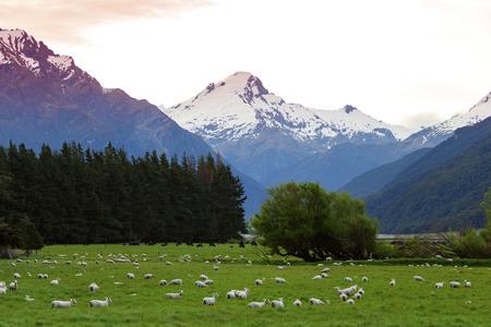 graze: New Zealand Merino sheep graze in alpine valley