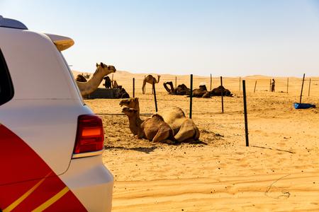 Kamele ruhen in der Wüstensonne, VAE