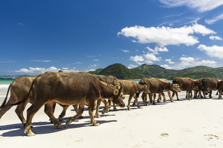 Water buffalos walking on white sandy beach on the island of Lombok, Indonesia
