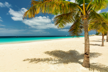 Palm tree on the white sandy beach in Barbados, Caribbean