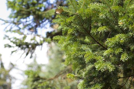alder tree: Alnus glutinosa. Alder tree. Shallow focus. Summer