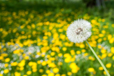 White dandelion in front of green field full of yellow dandelions. Standard-Bild