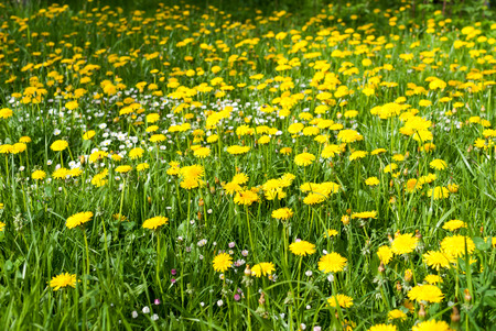 Green field full of yellow dandelions.