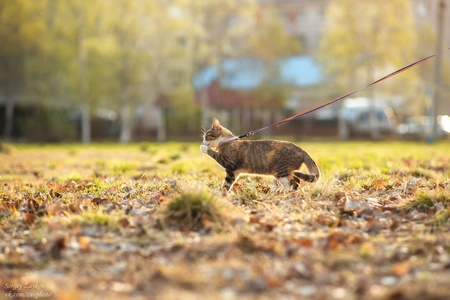 meowing: adorable meowing tabby kitten outdoors in morning Stock Photo