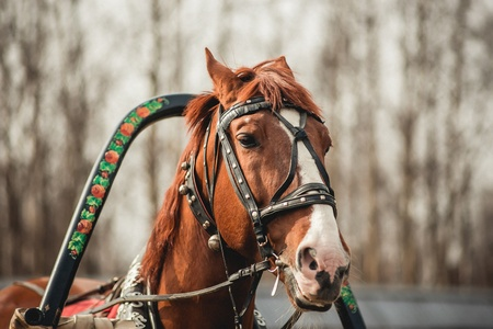 Head of a brown horse in harness Stock Photo