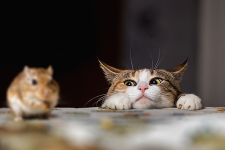 gato jugando: Gato que juega con el pequeño ratón jerbo sobre la mesa.