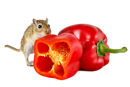 food hygiene: Little gerbil mouse touch fresh red pepper isolated on white background.  The concept of hygiene of food. Stock Photo
