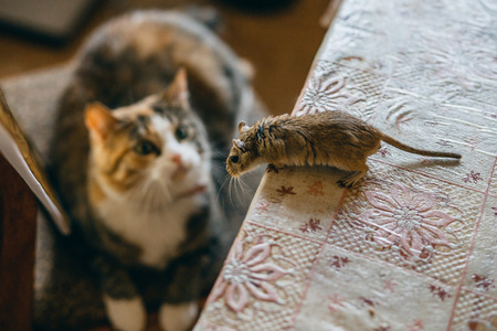house mouse: Cat playing with little gerbil mouse on the table. Natural light. Stock Photo