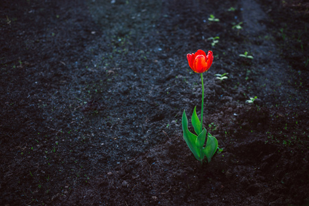 Red alone bright tulip against dark ground. Concept of loneliness, contrast, vital force