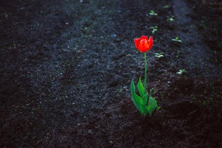 soledad: Tulipán rojo brillante solo contra fondo oscuro. Concepto de la soledad, el contraste, la fuerza vital