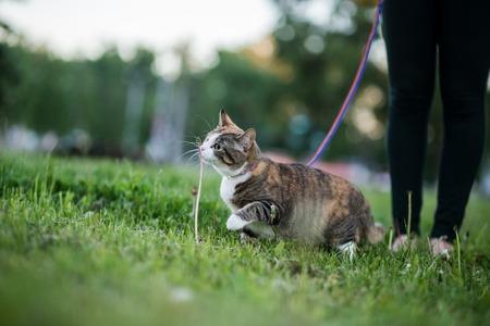 Cat greedy eating grass on evening walk Stock Photo
