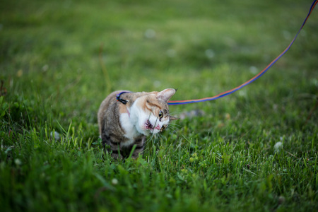 Cat greedy eating grass on evening walk Stock Photo
