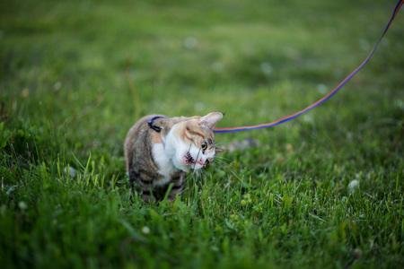greedy: Cat greedy eating grass on evening walk Stock Photo