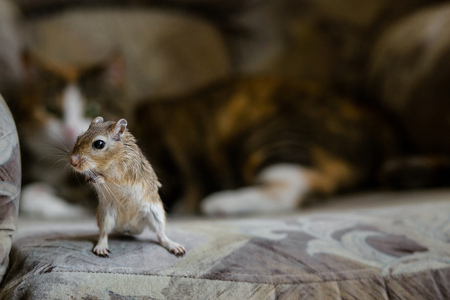 Cat playing with little gerbil mouse. Natural light Stock Photo