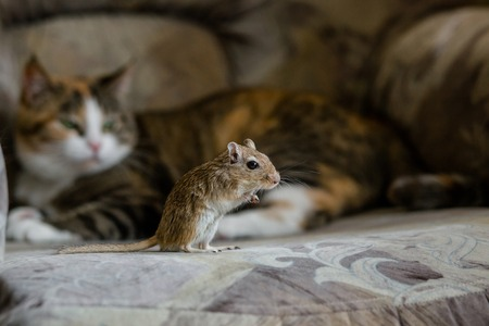 chasing tail: Cat playing with little gerbil mouse. Natural light Stock Photo