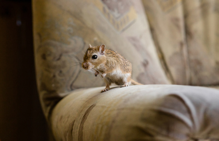 Gerbil mouse standing in private on the chair.
