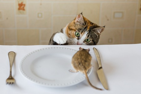 chasing tail: Cat playing with little gerbil mouse on the table.