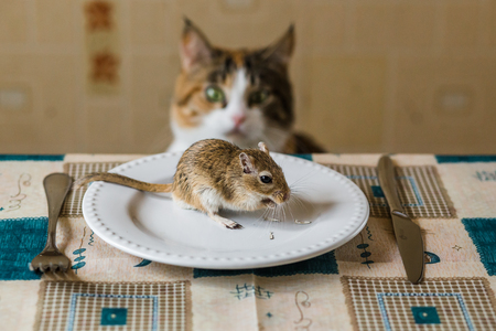 Cat looking to little gerbil mouse on the table with plate and serving cutlery. Concepts of prey, food, pest. Stock Photo