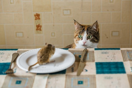Cat stares at the mouse little gerbil mouse on the table with plate and serving cutlery. Concepts of prey, food, pest.