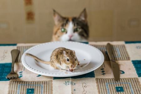 chasing tail: Cat playing with little gerbil mouse on the table with plate and serving cutlery. Concepts of prey, food, pest.