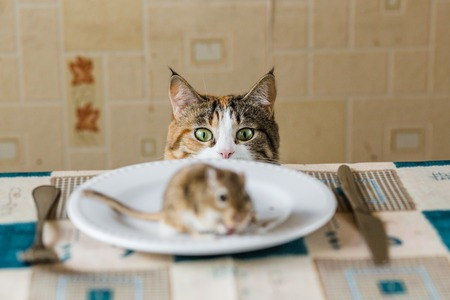 Cat stares to little gerbil mouse on the table with plate and serving cutlery. Concepts of prey, food, pest.