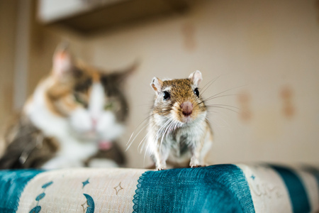 chasing tail: Mongolian gerbil mouse and the cat on background. Concepts of prey, food, pest, interrelation, danger, help