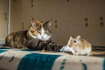 chasing tail: Cat playing with little gerbil mouse on the table with serving cutlery. Concepts of prey, food, pest. Stock Photo
