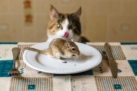 Cat cat licks lips and looks to little gerbil mouse on the table. Concept of prey, food, pest. Stock Photo