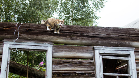climbed: Domestic cat can not get down. Curious image. Stock Photo