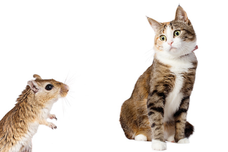 Gerbil Mouse and Surprised Ginger Cat Isolated on White background