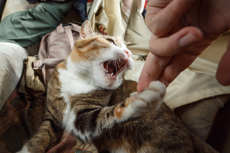 Beautiful ginger angry cat playing with woman hand and biting her with funny emotions Imagens