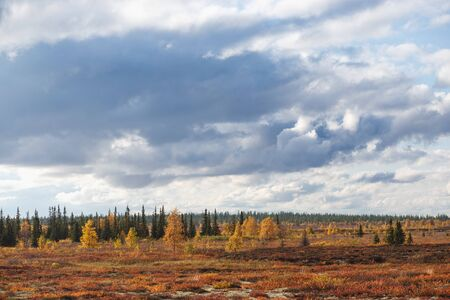 Beautiful panoramic landscape of forest-tundra, Autumn in the tundra. Yellow and red spruce branches in autumn colors on the moss background. Dynamic light. Tundra, Russia Stock Photo