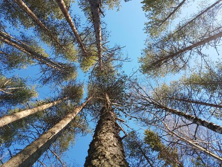 View from below on the crown of pines on a warm sunny day. Stockfoto