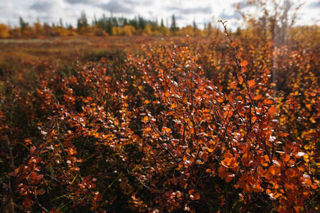Birch dwarf (Betula nana) in autumn in tundra near Narian-Mar. Bright autumn red yellow colors