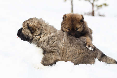 Two playful funny Caucasian Shepherd Dogs having fun in snow