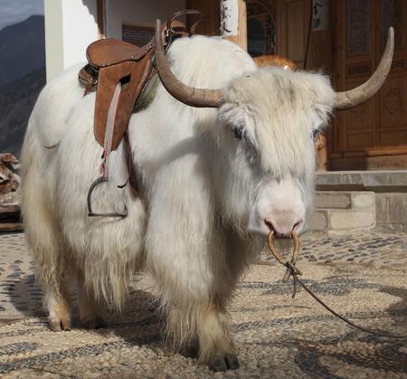 yak: White yak