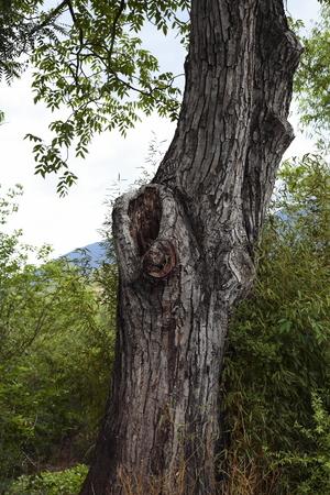 walnut tree: Century walnut tree Stock Photo