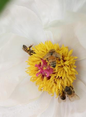 bee on flower: Bee flower Stock Photo