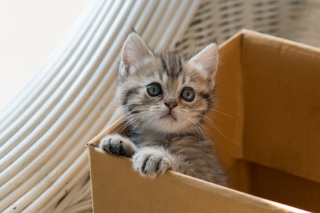 british kitten: Close up of cute tabby kitten holding paper box in the moring