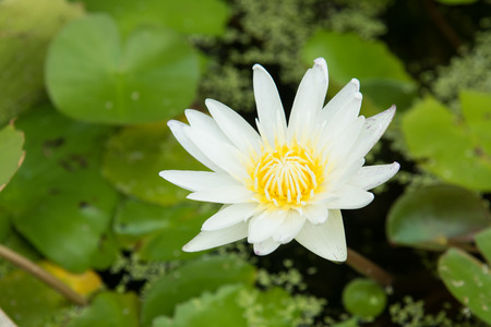 monet: Close up of white lotus in swamp Stock Photo