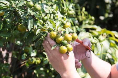pruning shears: Close up of pruning shears cutting orange in beautiful sunshine