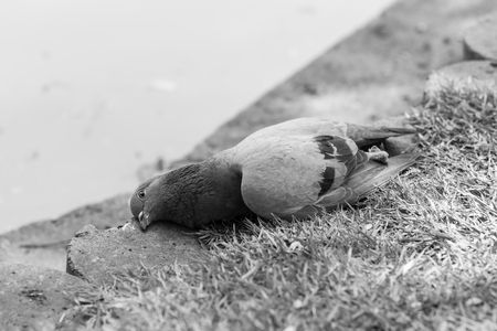 Close up of pigeon dead by poison on the ground